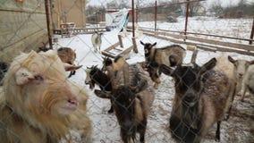 Gregge delle capre della neve dell'azienda agricola di inverno dietro il recinto archivi video