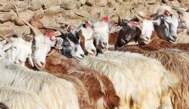 Gregge delle capre di pashmina immagine stock libera da diritti