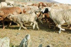 Gregge delle capre e delle pecore Immagini Stock