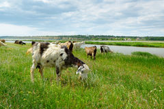 Gregge delle capre e delle pecore che pascono nel pascolo Immagine Stock