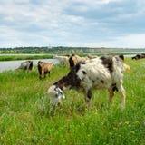 Gregge delle capre e delle pecore che pascono nel pascolo Fotografia Stock Libera da Diritti