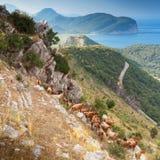 Gregge delle capre in montagne del Montenegro Fotografia Stock Libera da Diritti