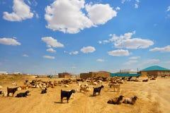Gregge delle capre nel villaggio kazakhstan agricoltura Immagini Stock Libere da Diritti