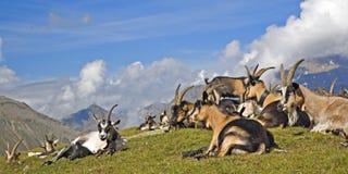 Gregge delle capre su Eisjöchl Immagini Stock