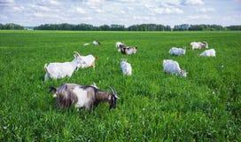 Gregge delle capre su un pascolo Immagini Stock Libere da Diritti