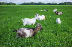 Gregge delle capre su un pascolo Fotografia Stock
