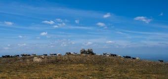 Gregge delle capre su una catena montuosa, estrela del da di serra, Portogallo Immagini Stock Libere da Diritti