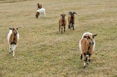 Gregge delle capre sul pascolo Fotografia Stock