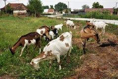 Gregge delle capre sulla campagna Immagini Stock