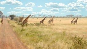 Gregge delle giraffe lungo la strada Fotografie Stock