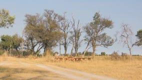Gregge delle impale in savanna stock footage