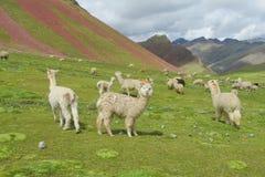 gregge delle lame su erba verde Fotografia Stock Libera da Diritti