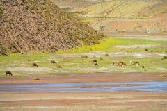 Gregge delle lame vicino al fiume Fotografia Stock Libera da Diritti