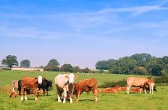 Gregge delle mucche Immagini Stock Libere da Diritti
