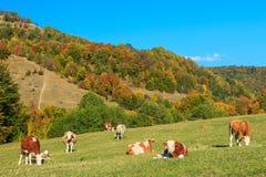 Gregge delle mucche al bello campo verde Fotografia Stock Libera da Diritti