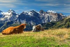 Gregge delle mucche al bello campo verde, Bernese Oberland, Svizzera Immagini Stock