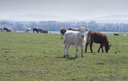Gregge delle mucche immagine stock