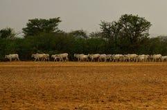 Gregge delle mucche in Bagan Myanmar Burma - Sud-est asiatico immagine stock