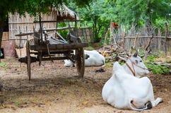 Gregge delle mucche bianche nel villaggio di Bagan, Myanmar Fotografie Stock