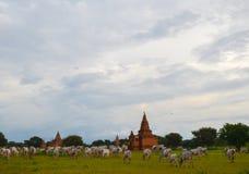 Gregge delle mucche bianche nel villaggio di Bagan, Myanmar Fotografia Stock