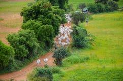 Gregge delle mucche bianche nel villaggio di Bagan, Myanmar Immagini Stock Libere da Diritti