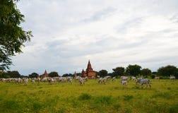 Gregge delle mucche bianche nel villaggio di Bagan, Myanmar Fotografia Stock Libera da Diritti