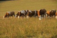 Gregge delle mucche che pascono Immagine Stock Libera da Diritti