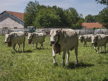Gregge delle mucche che pascono Fotografia Stock