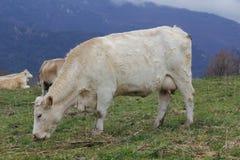 Gregge delle mucche che pascono Immagini Stock Libere da Diritti