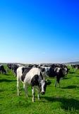 Gregge delle mucche che pascono nel prato Immagini Stock Libere da Diritti
