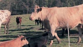 Gregge delle mucche che pascono nel prato archivi video