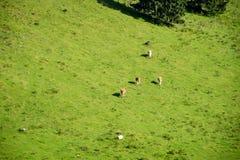 Gregge delle mucche che pascono nel prato della montagna Immagini Stock Libere da Diritti