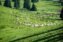 Gregge delle mucche che pascono nel prato della montagna Fotografia Stock