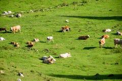 Gregge delle mucche che pascono nel prato della montagna Immagine Stock
