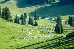 Gregge delle mucche che pascono nel prato della montagna Fotografia Stock Libera da Diritti