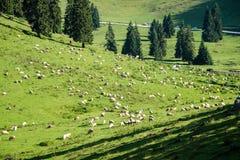 Gregge delle mucche che pascono nel prato della montagna Fotografie Stock Libere da Diritti