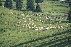 Gregge delle mucche che pascono nel prato della montagna - sguardo d'annata Fotografie Stock Libere da Diritti