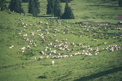 Gregge delle mucche che pascono nel prato della montagna - sguardo d'annata Fotografie Stock