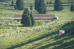 Gregge delle mucche che pascono nel prato della montagna - sguardo d'annata Fotografia Stock Libera da Diritti