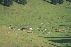 Gregge delle mucche che pascono nel prato della montagna - sguardo d'annata Immagine Stock Libera da Diritti