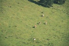 Gregge delle mucche che pascono nel prato della montagna - sguardo d'annata Immagini Stock Libere da Diritti