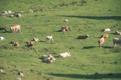 Gregge delle mucche che pascono nel prato della montagna - sguardo d'annata Fotografia Stock