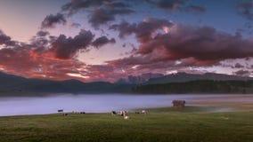 Gregge delle mucche che pascono nel prato nebbioso alla bella alba del puple Fotografie Stock
