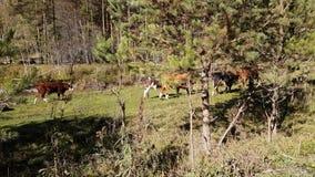 Gregge delle mucche che pascono nel prato vicino al fiume della montagna, estate in bel tempo stock footage