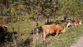 Gregge delle mucche che pascono nel prato vicino al fiume della montagna, estate in bel tempo video d archivio