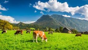 Gregge delle mucche che pascono nelle alpi Immagine Stock Libera da Diritti