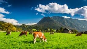 Gregge delle mucche che pascono nelle alpi Fotografia Stock Libera da Diritti