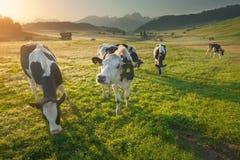 Gregge delle mucche che pascono nelle alpi alla bella alba Fotografie Stock
