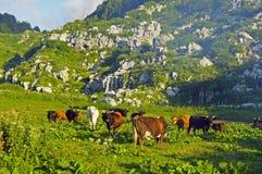 Gregge delle mucche che pascono nelle montagne Immagine Stock