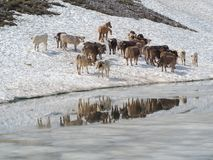 Gregge delle mucche che pascono su un campo di neve vicino ad un lago alpino Alpi italiane L'Italia Immagine Stock Libera da Diritti
